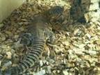 RED GEYRI Uromastyx trio with brand new set up, ....