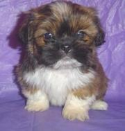 Quality Lhasa Apsos. puppies for sale