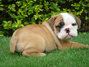 Extremely  Adorable English Bulldog Puppies For Adoption