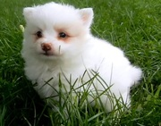 Pure White Pomeranian Puppies For Sale.