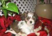 calm  Lhasa Apso Puppies