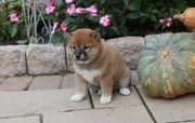 Shiba Inu cheerful,  puppies for sale