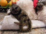 TYE Adorable Twin Pygmy Marmoset and Capuchin 07031957695