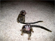 FSSD Adorable Twin Pygmy Marmoset and Capuchin 07031957695