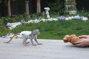 LQWFJW Adorable Twin Pygmy Marmoset and Capuchin CALL 07031956739