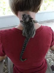 BDWQ Pairs Capuchin pygmy marmoset available 07031956739
